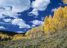 High Country Fall B. Fluffy white clouds and dark blue sky above sage hills lined with golden Aspen trees Royalty Free Stock Photos