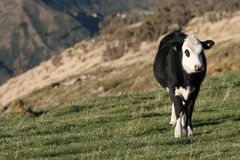 High Country Steer. Young steer (cattle beast) grazing in the high country of New Zealand stock photo