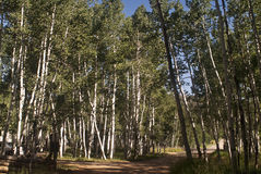High County Aspens. High Country Aspens from Southern Utah royalty free stock photo