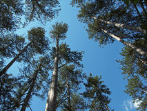 High Crimean pine-trees Royalty Free Stock Photo