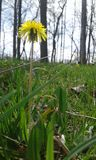 High dandelion. Tall little dandelion stock photo