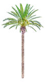 High date palm tree isolated Royalty Free Stock Photo