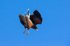 High decent onto prey by Harris hawk Royalty Free Stock Image