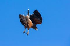 High decent onto prey by Harris hawk Royalty Free Stock Image
