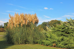 High decorative reeds Royalty Free Stock Photography
