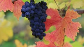 Bokeh into focus video of grapes on grapevine plants autumn season USA stock footage