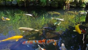 High definition of colorful Koi fish swimming in a pond in garden 1080p stock footage
