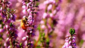 High definition movie of honey bees pollinating Heather flowers with out of focus bokeh in summer season 1080p stock footage