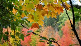 High definition movie of out of focus bokeh maple trees foliage in colorful autumn fall season 1080p stock video