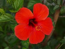 High definition of open red flower. In own private garden stock image