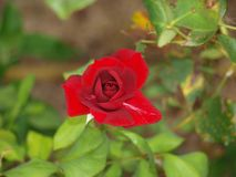 High definition of open rose button. High definition of open red rose flower in own private garden stock photography