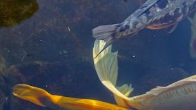High definition 1080p closeup movie of large colorful Koi fish swimming in a pond in garden 1080p stock video