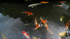 High definition 1080p movie of colorful koi fish swimming in pond in Japanese Garden stock video footage