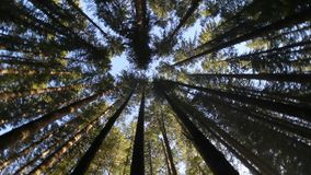 High definition 1080p movie of tall straight upright evergreen fir trees in circular motion in Oregon forest 1920x1080 stock footage