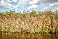 High dense grass in the water against a blue sky Stock Photos