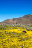 High Desert in Bloom with yellow flowers and California Golden / Orange Poppies just east of Lake Isabella California. CA Stock Photo