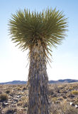 High Desert Soaptree Yucca  Plant Stock Photo