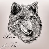 High detailed hand draw wolf realistic vector in engraved style Stock Images