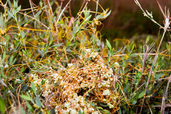 High dodder (Cuscuta campestris) Stock Photography
