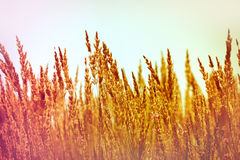 High dry grass Stock Image