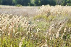 Free High Dry Wheat And Green Grass In A Field In The Sun Rays Royalty Free Stock Image - 139271876