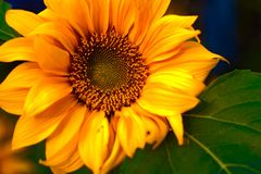 High dynamic range look of Sunflower blooming in full screen. Stock Photo
