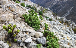 High Elevation Plants in Central Peru Stock Images