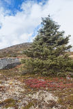 High Elevation Spruce Stock Photos