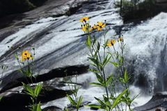 Yellow flowers near waterfall. Delicate Yellow wild flowers bloom in front of High Falls in DuPont State Forest, North Carolina royalty free stock photos