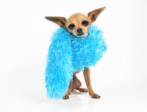 High fashion. A tiny chihuahua with a boa around his neck Stock Photo