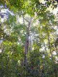 A high ficus tree in jungle Royalty Free Stock Photo