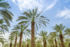High figs date palm trees in Middle East orchard stock photo