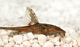 High fin whiptail catfish Rineloricaria lanceolata aquarium fish Royalty Free Stock Photography