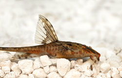 High fin whiptail catfish Rineloricaria lanceolata aquarium fish Stock Photos