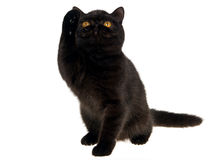 High five by black Exotic Persian kitten Stock Photos