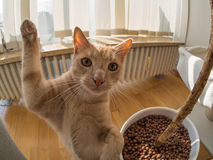 High five of a brown cat. In living room stock photos
