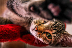 High five cat. Cat gives a high paw to the camera stock photography