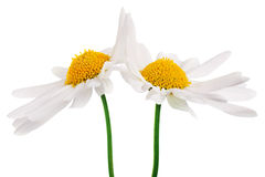 High-five daisies Stock Photos