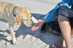 High five with labrador Stock Photography