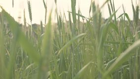 High fresh grass in meadow at sunset. Green wheat swaying in wind at sundown. Field in summer evening stock footage