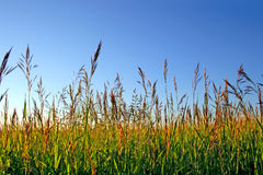 High grass Royalty Free Stock Image