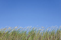 High grass against clear blue sky Stock Images