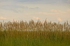 High grass in the field against the sky Royalty Free Stock Image