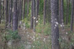 High grass of forest. Thistle with furr, that appeared instead o. F flowers. among the pine forest stock photos