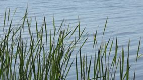 High grass on the lakeside against water surface stock footage