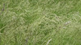 High grass moving on the wind stock video footage