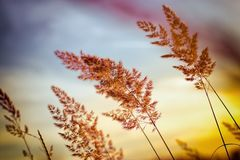 High grass, grass seed - sunset in meadow dusk - beautiful nature. Sunset - dusk in grass meadow, beautiful high grass and grass seed Royalty Free Stock Photo