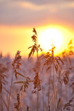 High grass on sunset background Royalty Free Stock Photos