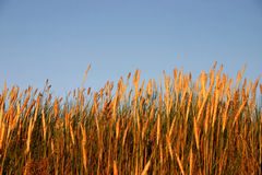 High grass in the sunset light Royalty Free Stock Photo