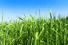 High green grass and blue sky Stock Image